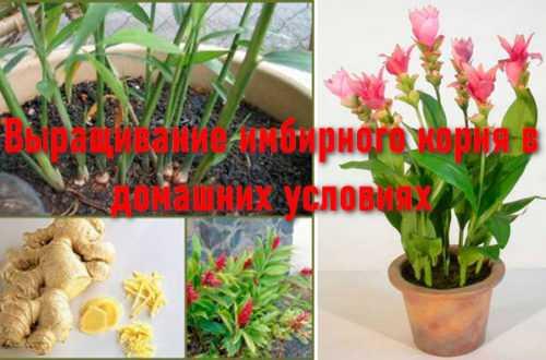 Выращивание имбирного корня в домашних условиях